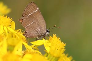 The White-letter Hairstreak was spotted in Paxton by Iain Cowe