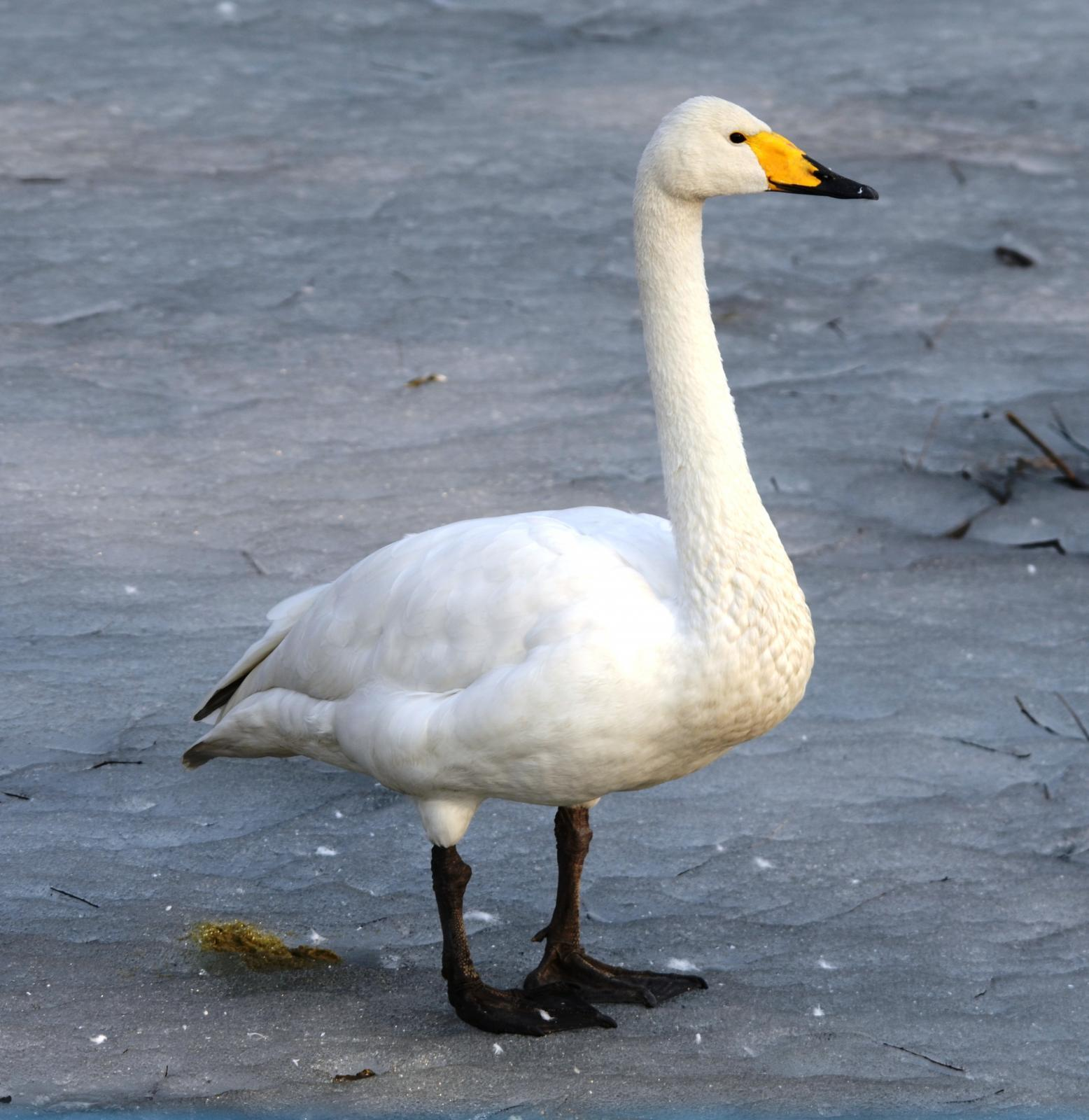 A total of 16 dead whooper swans were found at Fairnington