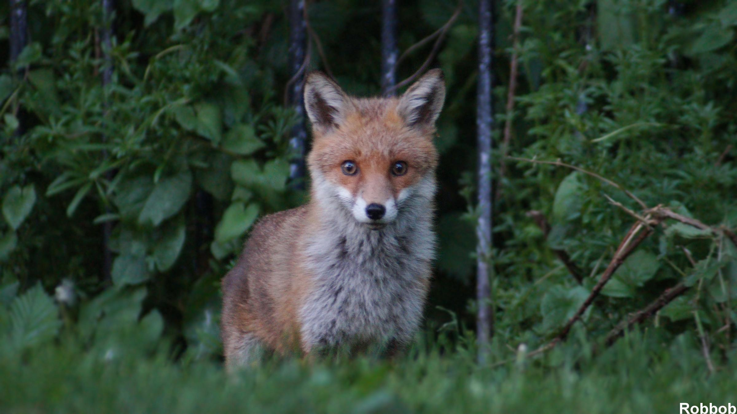 Buccleuch members accused of breaching fox hunting laws